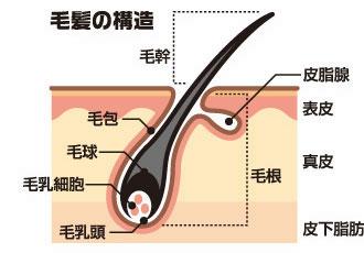 発毛に大切な毛包の構造